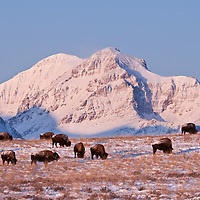 buffalo blackfeet indiain reservation rising wolf mountain, glacier national park, montana