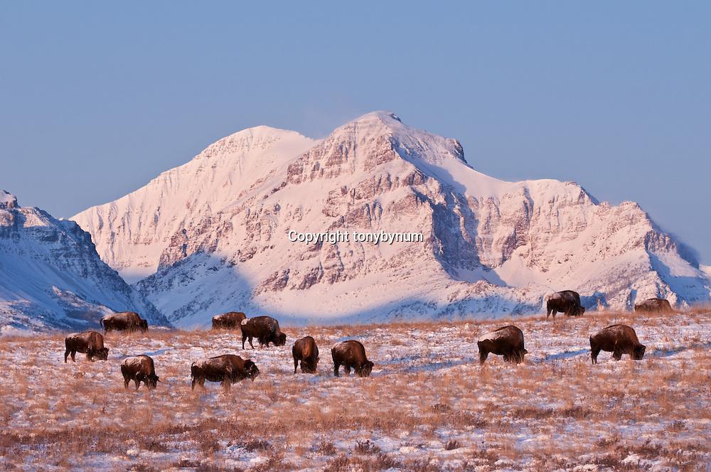 buffalo blackfeet indiain reservation rising wolf mountain, glacier national park, montana