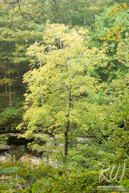 Beech Maple Tree at Clifty Falls State Park, Indiana