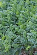 Carrots, crop, arable, farming, root, vegtable,