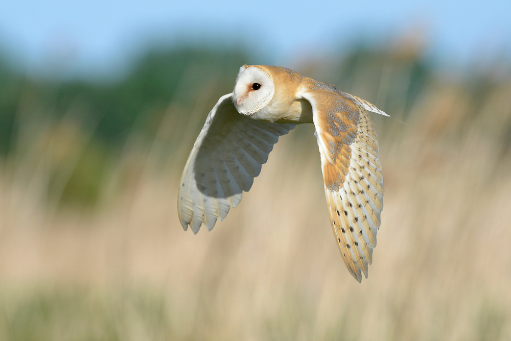 Barn Owl Tyto alba L 34-38cm. Mainly nocturnal but sometimes hunts from late afternoon onwards. Feeds mainly on grassland small mammals. Flight is leisurely and slow on rounded wings. Responds well to nestbox schemes. Sexes are similar. Adult and juvenile have orange-buff upperparts speckled with tiny black and white dots. Facial disc is heart-shaped and white. In flight, underwings pure white. Voice Utters blood-curdling at night. Status Vulnerable and generally scarce resident species.