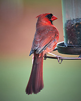 Male Northern Cardinal. Image taken with a Fuji X-T2 camera and 100-400 mm OIS telephoto zoom lens