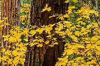 Yellow Maple leaves and Sequoia trunks; Yosemite NP, California