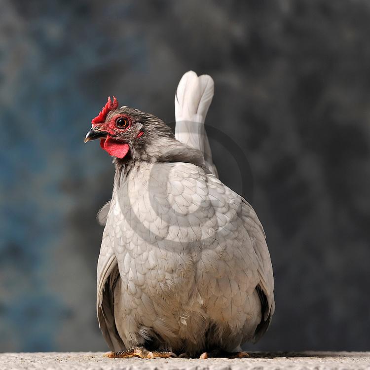 23/11/12 - MONTLUCON - ALLIER - FRANCE - Concours National Avicole de Montlucon. Poule Chabo gris perle. Eleveur Yves Cormier - Photo Jerome CHABANNE