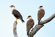 This adult Crested Caracara and its young used this dead tree near Conchal Beach in Guanacaste as a lookout and a safe place to rest after scavenging for food. While I was photographing these birds, there was just one brief moment when all three of them perched together and they all turned their heads in the same direction; that was my shot. Note the swollen yellow crop on the adult's chest, which indicates that it has recently gorged itself.<br />