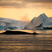 A humpback whale breaks the surface against the orange glow of the setting sun in Hughes Bay on the Antarctic Peninsula.
