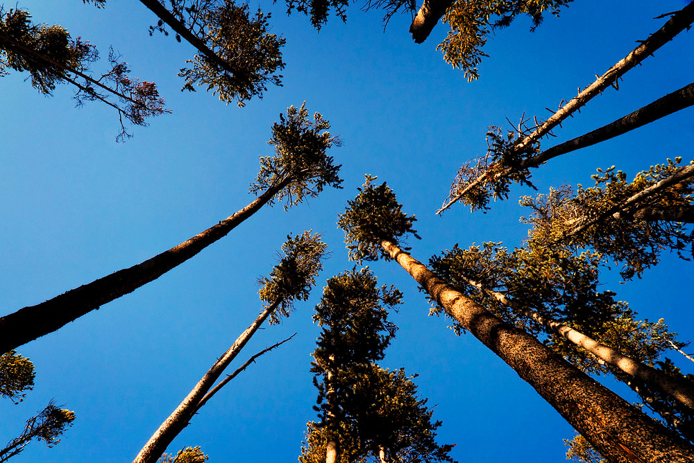 I have made numerous attempts in forest of Yellowstone only to capture the towering nature of the trees reaching out in to the blue sky.