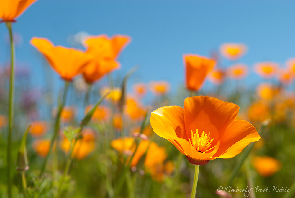 Beautiful California Golden P<br />