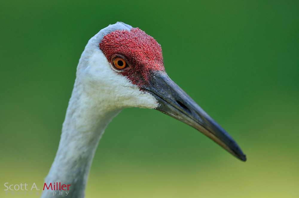 Oct. 4, 2010; The Florida Sandhill Crane (Grus canadensis pratensis) is far less common Sandhill Crane, with some 5,000 individuals remaining. They are most threatened by habitat destruction and probably depend on human management in the long run. In Florida, it is protected, and if killed, carries a very high monetary penalty. This subspecies is under protection of state and federal law at this time. Since the loss of habitat is a somewhat controllable cause of a declining population, habitat preservation is a valuable management measure. .©2010 Scott A. Miller