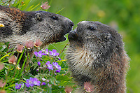 Marmots feeding on flowers.<br />