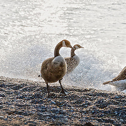 Canadian geese on the shoreline of Lake Ontario, Beach (Toronto), Canada.
