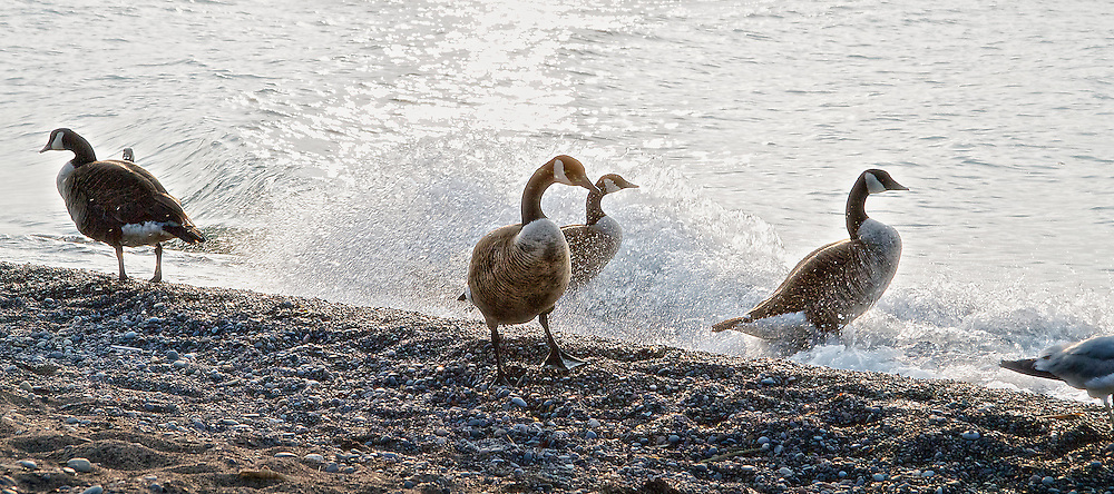 Canadian geese on the shoreline of Lake Ontario, Beach (Toronto), Canada.