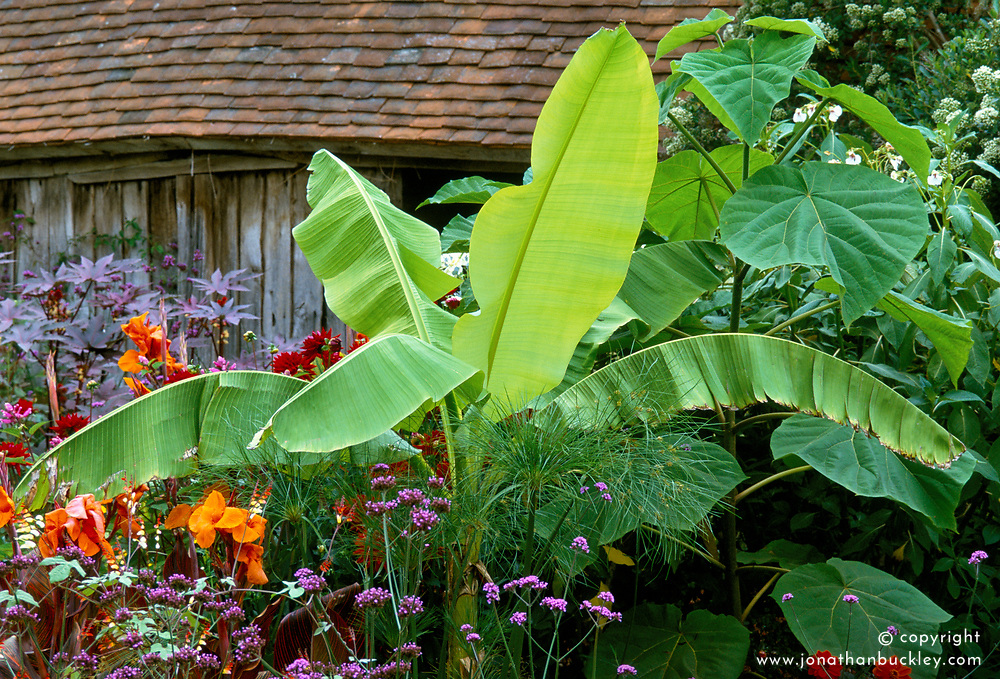 Musa basjoo syn.M.japonica in the exotic garden at Great Dixter with Paulownia tomentosa and Verbena bonariensis - Japanese banana