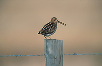 Common Snipe (Gallinago gallinago) on fence post, near Powderface Trail, Kananskis Country, Alberta, Canada