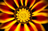 A close-up of a striking red and yellow Gazania.