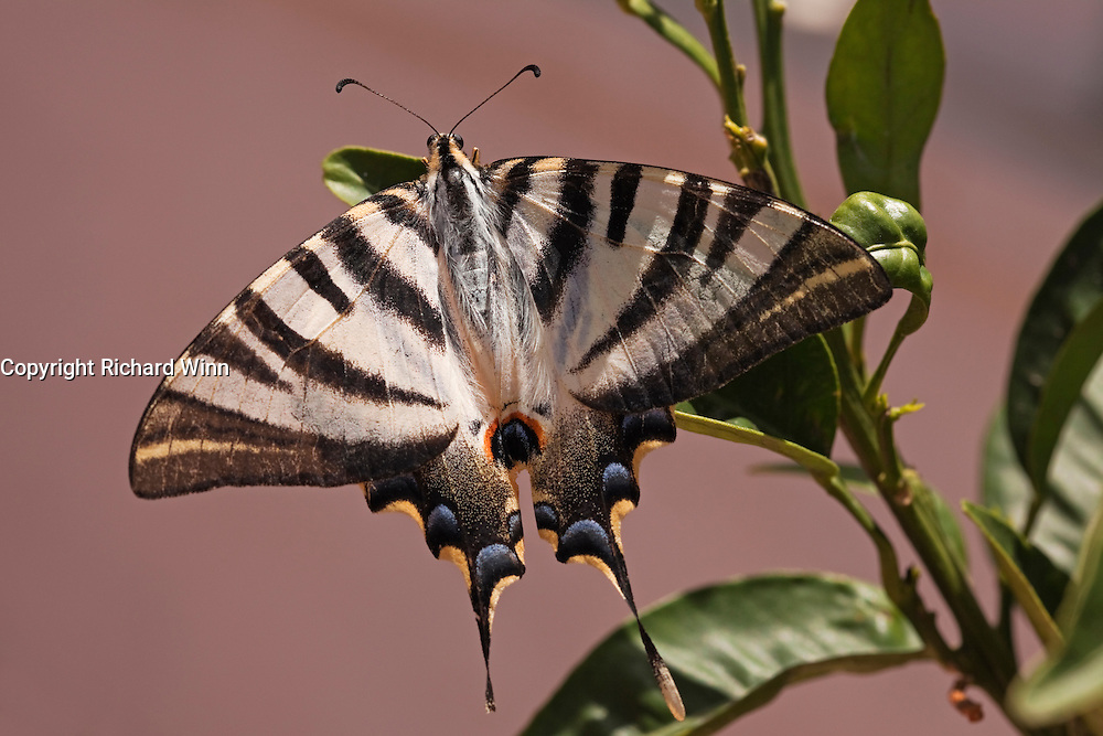 Scarce or Spanish Swallowtail (Iphiclides podalirius) perching on an orange tree in an urbanised garden near Torrevieja.