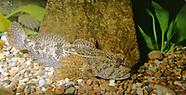 Slimy Sculpin, Underwater
