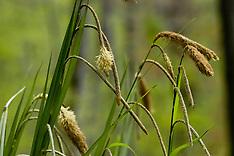 Cyperaceae, Cypergrassen