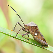 Coreidae (or Leaf-footed bug) is a large family of predominantly herbivorous insects that belong in the hemipteran suborder Heteroptera.
