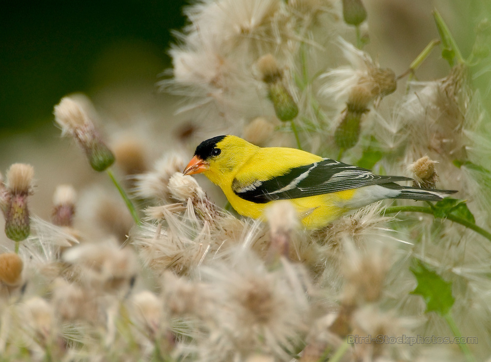 American Goldfinch, Carduelis tristis, male, USA Midwest, by Owen Deutsch