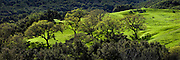 Panoramic scene of oak trees on a verdant green California hillside in spring