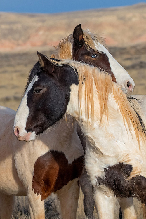 Separated after losing his family band last year, the stallion, Tecumseh, has reunited with his blue-eyed colt, Tonkawa.  Although he's nearly four years old, Tonkawa and his father are inseparable and will remain that way until one of them leaves to form a family of his own.