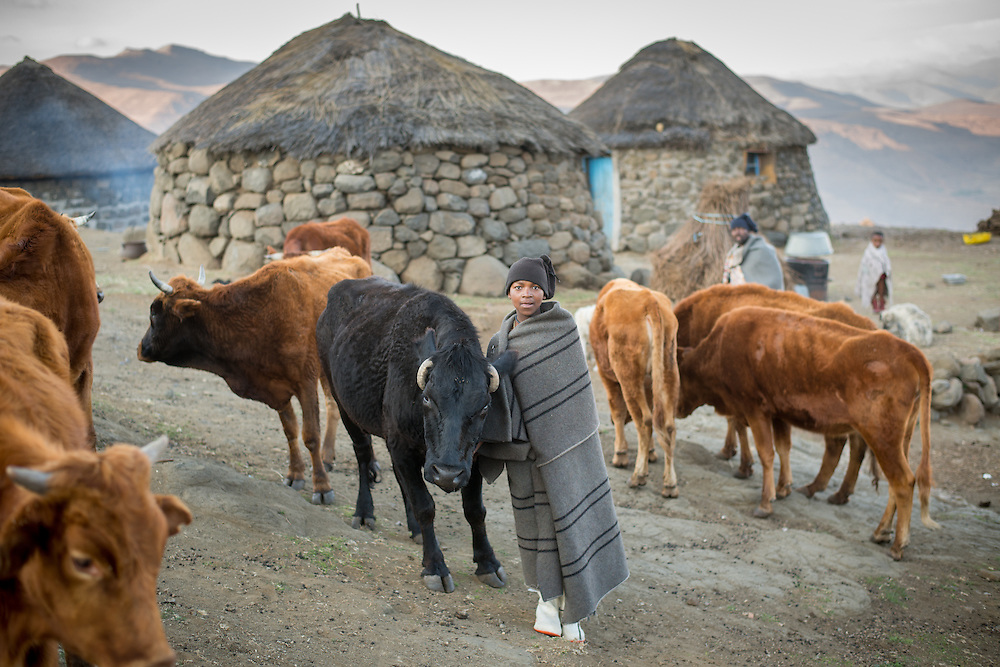 Young boy wrapped in a blanket with his beef cattle in a village in Lesotho, Africa