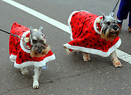 12/1/12 12:42:46 PM - Souderton, PA: .Dogs dressed in holiday garb march on Main Street during the Souderton/Telford Holiday Parade December 1, 2012 in Souderton, Pennsylvania -- (Photo by William Thomas Cain/Cain Images)
