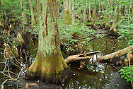 The Four Holes swamp is an 45,000 acre blackwater system near Charleston, SC. In 2008, the Francis Beidler Forest (15,000 acres owned by Audubon) was given the prestigious designation of Ramsar Wetland of Internation Importance. The majority of the Bald Cypresses in this wetland are estimated to be around 1,000 years old.