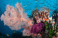 Fusiliers, Feather Stars, and Gorgonians<br /> <br /> Shot in Indonesia