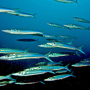 Bigeye Barracuda school in open water. Picture taken Fiji.