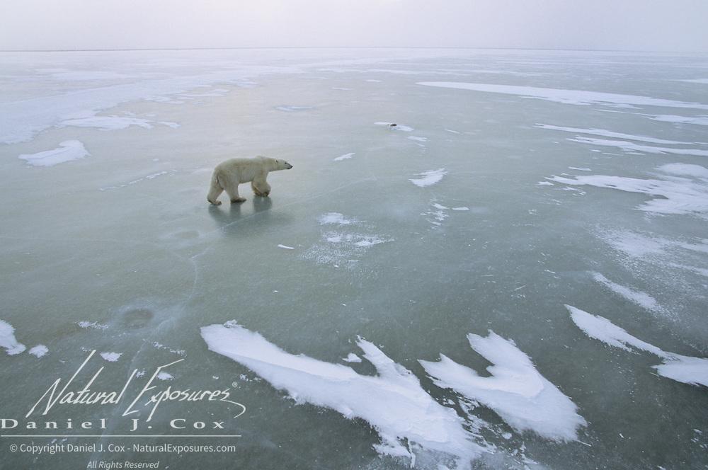 Polar Bear on Hudson Bay at Cape Churchill, Canada.