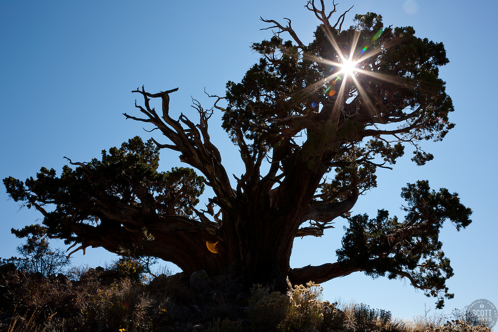 """Juniper Tree 1"" - This very old juniper tree was photographed along Monitor Pass, California."
