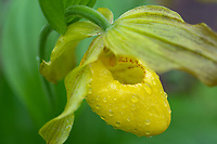 A native Yellow Lady Slipper wildflower collects rain drops from a recent storm in Great Smoky Mountains National Park.  These flowers are considered relatively rare in the Southern Appalachian Mountains.