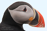 Atlantic puffin, aka common puffin (Fratercula arctica); Krossfjorden, Svalbard.