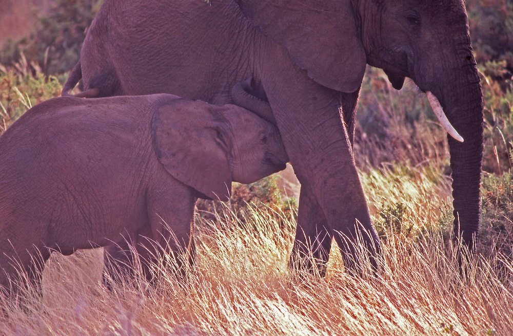 African wildlife, elephant and suckling baby in Maasai Mara, Kenya