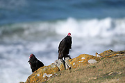 A pair of Turkey vultures (Cathartes aura falklandica) on Saunders Island on Sunday 4th February 2018.