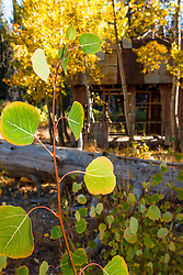 """Aspen in Tahoe 6"" - Photograph of aspen leaves turning in to their yellow fall colors."