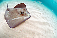 Southern stingray ( Dasyatis americana ) in blue clean Caribbean waters at Gibbs Cay.