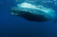 Sperm whale in the Dampier Strait between Batanta and Waigeo.