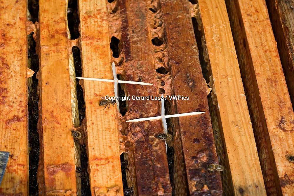 HONEY BEE apis mellifera IN NORMANDY