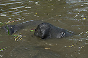 West Indian Manatee (Trichechus manatus)<br /> Georgetown<br /> GUYANA<br /> South America