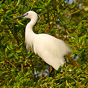 Little Egret Egretta garzetta garzetta   - Adult in full breeding plumage