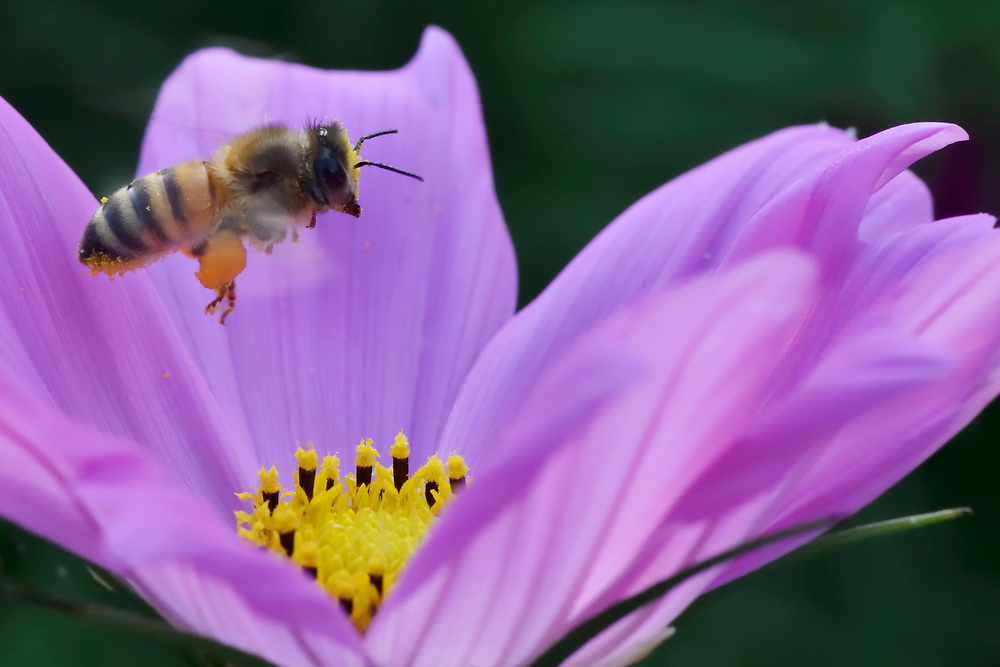 Honey bee, Apis sp. arriving at a Chrysanthemum flower, East Lake Greenway park, Wuhan, Hubei, China