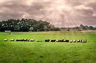 "Sheep Grazing, 8 Hands Farm, Cutchogue, NY, ""is a 28 acre, sustainable family farm on the North Fork of Long Island raising Icelandic Sheep."""