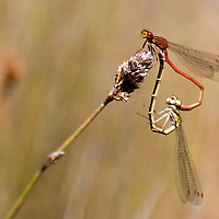 On the way to Te Anau i saw this two damselflies sitting on a dry blossom. The red one is the male.