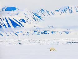Polar Bear, Ursus maritimius, Spitsbergen, Svalbard