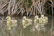 Canada geese goslings swim in a wetland pond.