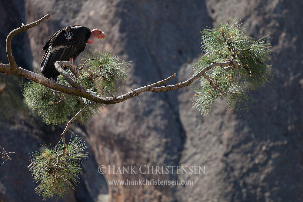 A California Condor perches on a branch in front of a rock wall, Pinnacles National Park