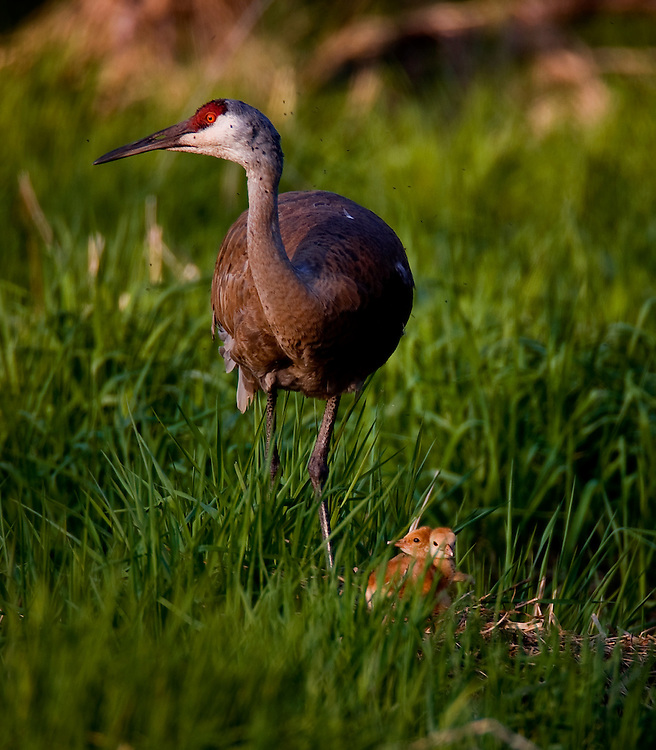 Two Sandhill Crane chicks stand on their nest with their mother at sunset.  Cranes nest in wetlands and take turns incubating the eggs until hatch about thirty days later.  Photo by Tom Lynn